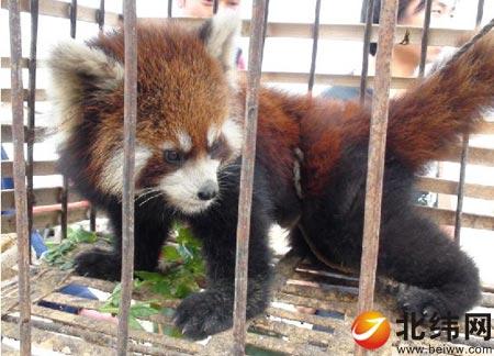 石棉县发现国家二级保护动物小熊猫