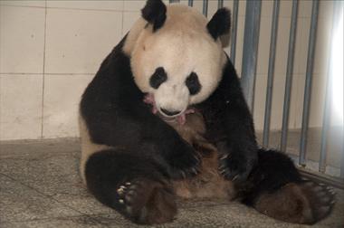 """据了解,大熊猫""""甜甜""""于2003年8月24日出生于北京动物园,母亲为""""妞妞"""