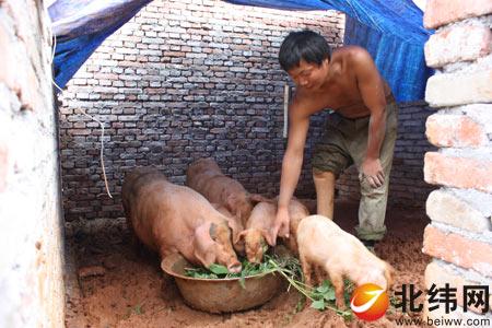 在简易猪棚里饲养肥猪