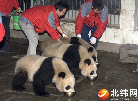 为大熊猫宝宝们准备的食物与平日里
