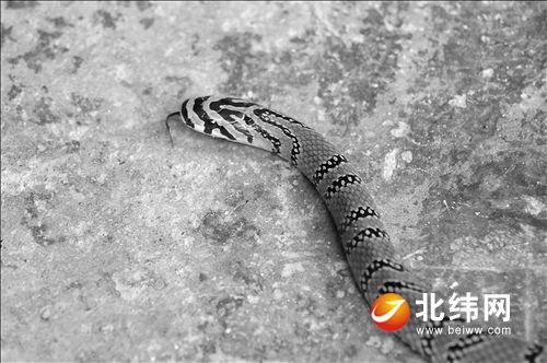 省级重点保护野生动物横斑锦蛇