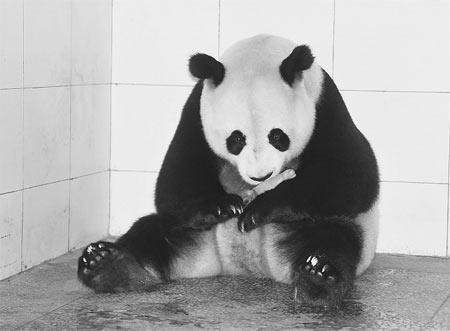 由于之前北京动物园产下的双胞胎其中一只已死亡