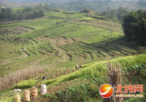 据了解,今年仁义乡面粉活水栽种面积在500亩左右,预计全乡将在250万斤产量生姜图片