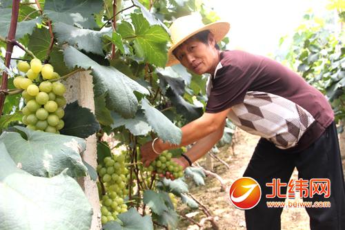 整齐排列的水泥桩上,爬满了葡萄藤蔓,葡萄叶将一串串青色的葡萄遮挡