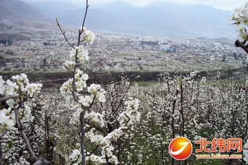 除了梨花外,3月中下旬汉源4万多亩樱桃树林,2万多亩桃树林也将相继