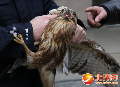 """一只国家二级保护动物雀鹰""""迫降""""至"""