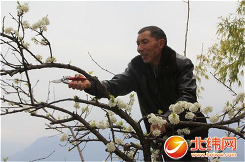 果農給李樹修剪掉多余枝椏,今年鮮果才能長得好