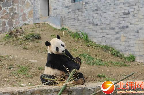 也是中美合作拯救大熊猫这一濒危野生动物的成功范例