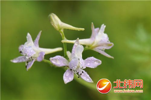 卵瓣还亮草,毛茛科翠雀属一年生或二年生草本植物,茎高30-80厘米.