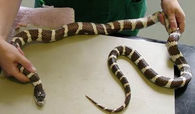 智力蛇扣解法图解