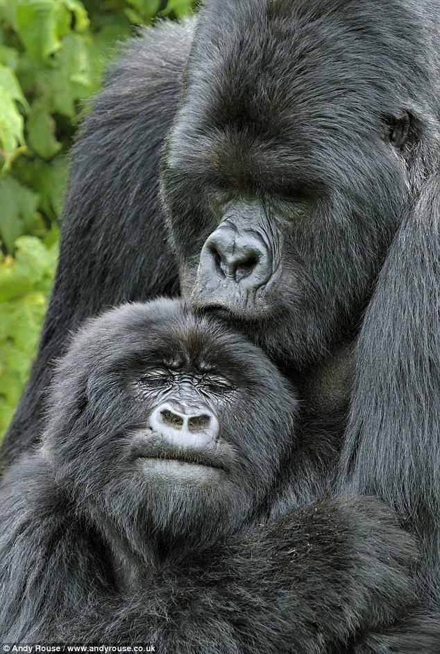 Kigoma在成功求爱后,正拥抱着其妻子   腾讯科技讯(编译/嘟嘟)据国外媒体报道,在英国曾获奖的野生动物摄影师安迪鲁斯(Andy Rouse)近日在非洲拍摄到了一组珍贵的银背大猩猩求爱时的精彩照片。   据悉,安迪鲁斯拍摄到这只重量为176.4千克的银背大猩猩名叫Kigoma。在它进行了这些令人敬畏的威武动作展示之后,它成功地找到了自己的妻子。这些照片表明,银背大猩猩对着异性做出的大声吼叫、拍打胸口这些动作,是其求爱的信号。     猩猩Kigoma正对着镜头做出大声吼叫、拍打胸口这