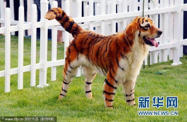 染成熊猫样子的小狗和一只被染成老虎样子的小狗入驻