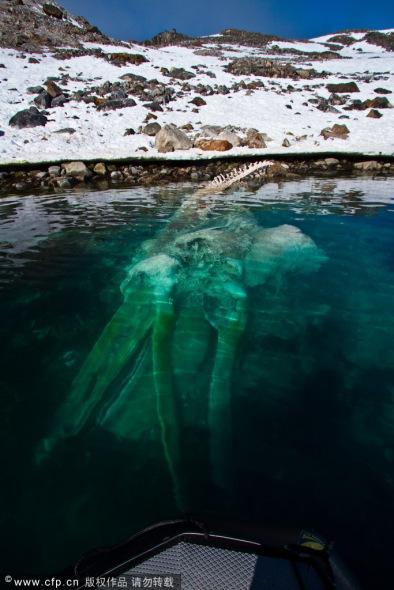 挪威斯瓦尔巴群岛水下出现一只鲸鱼骨架(图)