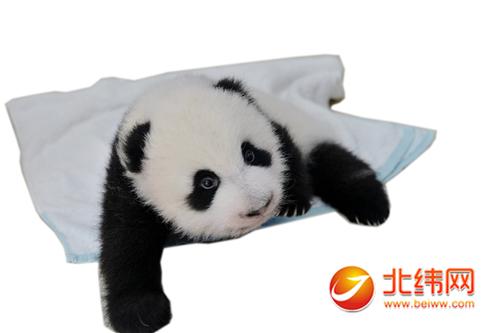可爱的大熊猫宝宝-中国大熊猫保护研究中心今年大