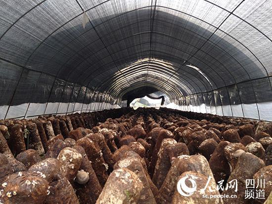 食用菌生产基地现有标准化生产车间1800平方米,钢架大棚种植面积达到