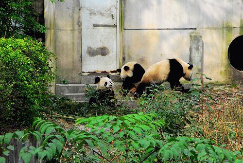 大熊猫 动物 500