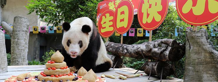 """最長情的告白(bai) 大熊(xiong)貓""""新(xin)星""""的浪漫""""人生"""""""
